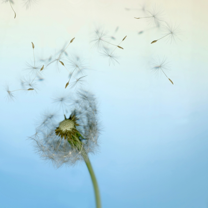 Dandelion seeds in wind